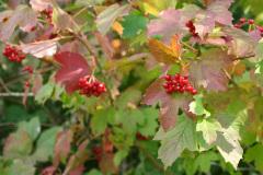 red_berries_1024