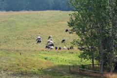 sheeps1_1024