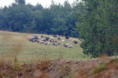 sheeps2_1024